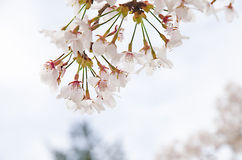 Cherry Blossom Tree stock fotografie
