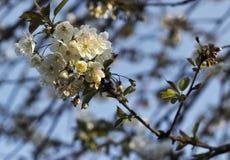 Cherry Blossom Tree stockfotografie