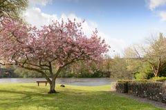 Cherry Blossom Tree Fotografia Stock