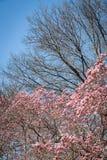 Cherry Blossom Tree fotos de stock