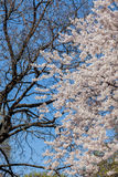 Cherry Blossom Tree fotos de stock royalty free