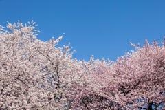 Cherry Blossom Tree imagens de stock