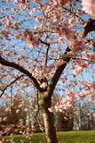 Cherry blossom tree. In pink Stock Photos