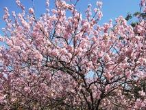 Cherry Blossom Tree Fotos de archivo