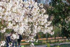 Cherry Blossom Tree Image stock