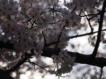 Cherry Blossom Tree Arkivbild