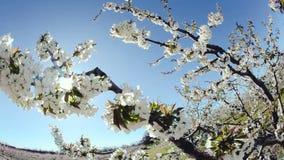 Cherry Blossom Tree filme