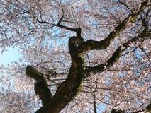 Cherry blossom tree. A cherry blossom tree background stock photography