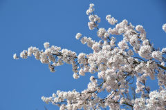 Cherry blossom tree. A cherry blossom tree background royalty free stock images