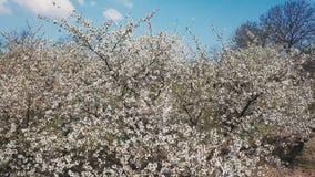 Cherry Blossom Tree stock video