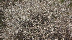 Cherry Blossom Tree stock footage