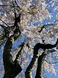 Cherry Blossom Tree From Below branco fotografia de stock royalty free