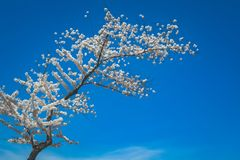 Cherry Blossom Tree in Bloom Stock Image