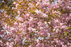 Cherry Blossom Tree in Bloom Stock Photo