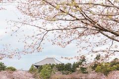 Cherry blossom tree. A blooming cherry blossom tree in Nara, Japan stock photo