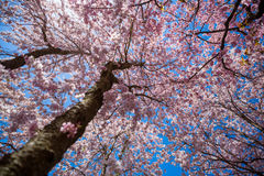 Cherry Blossom Tree. Blooming Cherry Blossom Tree in Spring royalty free stock photography