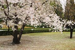 Cherry blossom tree is blossoming Stock Photo