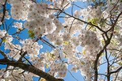 Cherry blossom tree blue skies Royalty Free Stock Photos