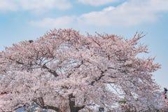 Cherry blossom tree on blue sky.  stock image