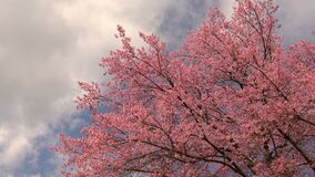 Cherry blossom tree with blue sky and clouds.  stock video footage