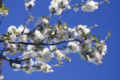 Cherry blossom tree with blue sky, France. White Cherry blossom tree with blue sky, France royalty free stock photo