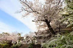 Cherry blossom tree. With blue sky in the Osaka garden, in Japan royalty free stock photo