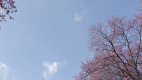 Cherry blossom tree with blue sky at park.  stock video footage
