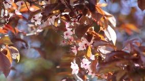 Cherry blossom stock video
