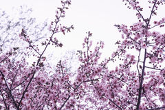 Cherry blossom tree and branches against the sky, outdoors, Beijing Stock Photography