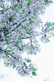 Cherry blossom tree and branches against the sky, outdoors, Beijing Royalty Free Stock Photography