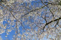 Cherry Blossom Tree Canopy Imagen de archivo libre de regalías