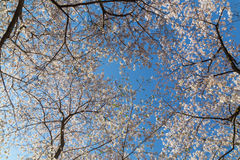 Cherry Blossom Tree Canopy Royalty Free Stock Photo