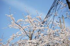 Cherry blossom tree at Changde Gaoshan Street stock photography