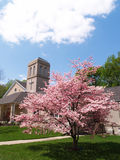 Cherry blossom tree by a church. A cherry blossom tree in bloom by a church on a sunny day royalty free stock photography