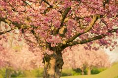 Cherry Blossom Tree in Close-up Photo Royalty Free Stock Photos