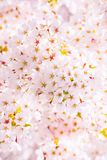Cherry Blossom Tree Detail, Pink Bloom Background