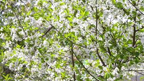 Cherry blossom tree. Flowering cherry tree branches shaken by the wind, sunny spring day stock footage