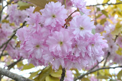 Cherry Blossom Tree Flowers Royaltyfri Foto