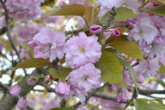 Cherry Blossom Tree Flowers Stock Photo
