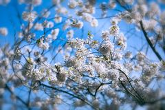 Cherry blossom tree with flowers Stock Image