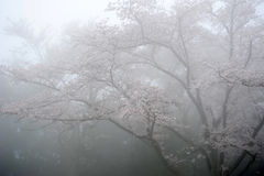 Cherry blossom tree. With the fog Stock Images