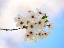 Cherry blossom. Cherry tree in full bloom, on a blue sky background, selective focus Stock Image