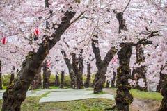 Cherry blossom tree. In Goryokaku park royalty free stock photo