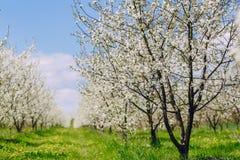 Cherry blossom tree Stock Photography