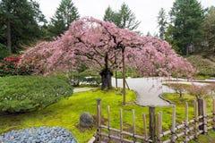 Cherry Blossom Tree i vår fotografering för bildbyråer