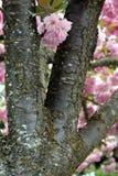 Cherry Blossom Tree i våren royaltyfri foto