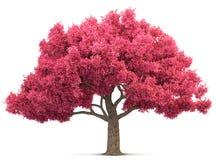Cherry blossom tree isolated Royalty Free Stock Image