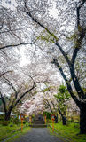 Cherry blossom tree in Japan Stock Image