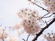 Cherry blossom on tree in Japan. Selective focus with blurry background of another blossoms and branches of tree stock photos