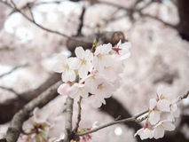 Cherry blossom on tree in Japan. Selective focus with blurry background of another blossoms and branches of tree stock photography